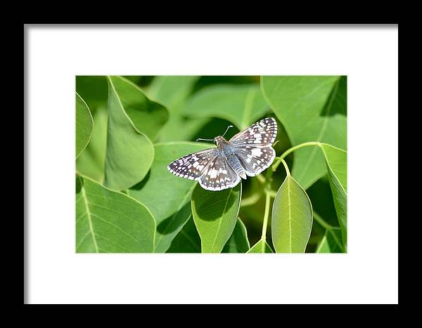 Butterfly Framed Print featuring the photograph Checkered Skipper by Kathy Gibbons