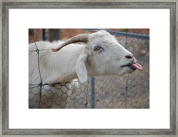 Out Tongue Poking Goat Print Rebecca Cheeky Framed By Hamby zqWEtqxc