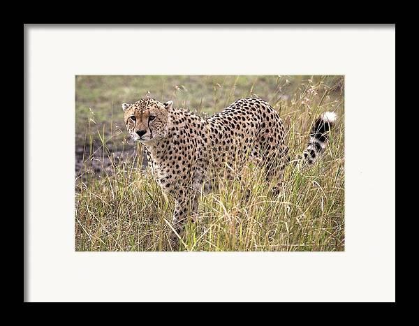 Africa Framed Print featuring the photograph Cheetah Acinonyx Jubatus, Masai Mara by Chris Upton