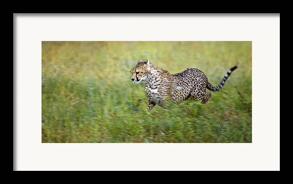 Acceleration Framed Print featuring the photograph Cheetah Acinonyx Jubatus, Running by Carson Ganci