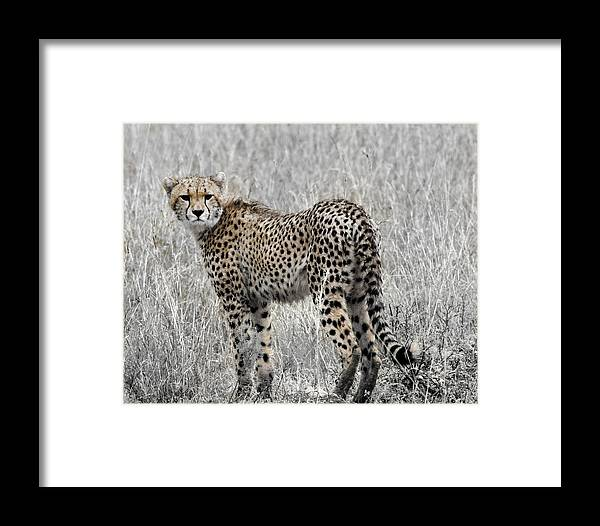 Cheetah Framed Print featuring the photograph Cheetah by Roni Chastain