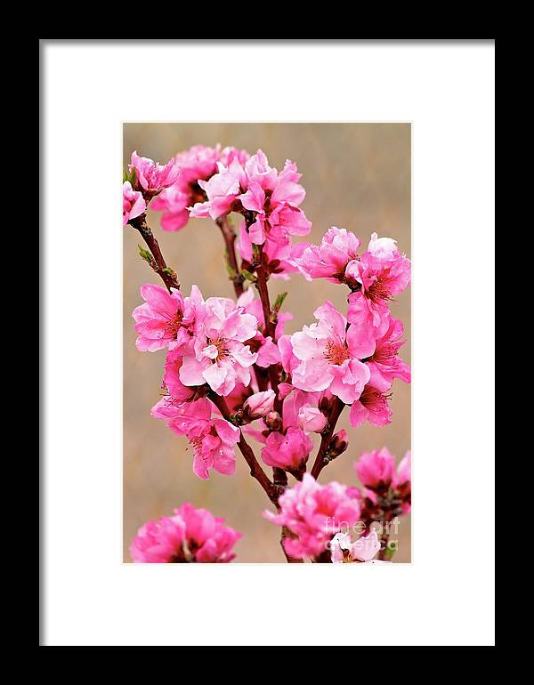 Cherry Blossom Framed Print featuring the photograph Cherry Blossom by Nicole Fleckenstein