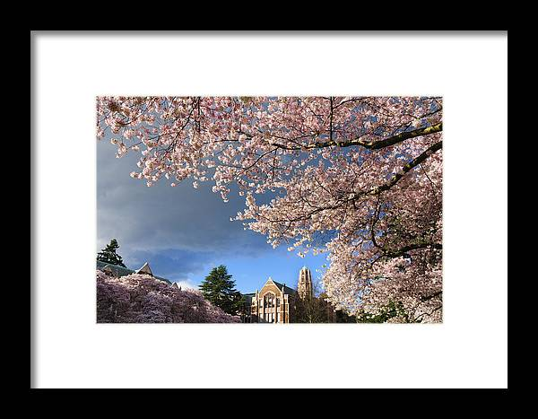 Cherry Trees Framed Print featuring the photograph Cherry Blossoms At University Of Washington by Greg Vaughn