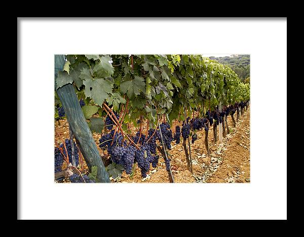 Vineyard Framed Print featuring the photograph Chianti Grapes by Christopher Brown