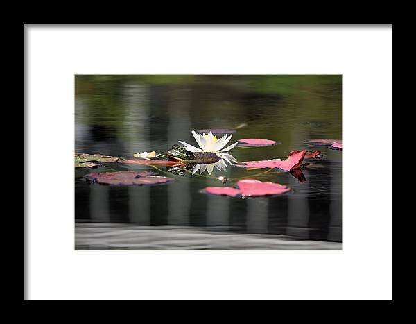 Bullfrog Framed Print featuring the photograph Chillin' by Katherine White