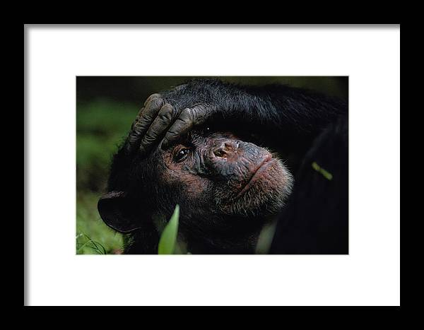 gombe Stream National Park Framed Print featuring the photograph Chimpanzees, As Reported By Jane by Michael Nichols