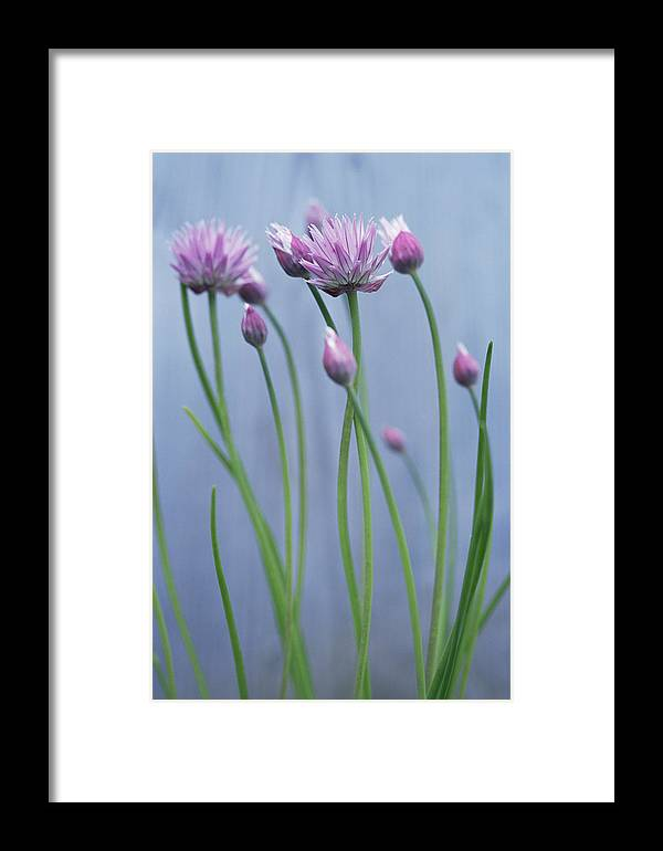 Chive Framed Print featuring the photograph Chives (allium Schoenoprasum) by Maxine Adcock