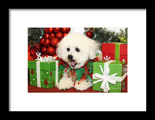 Havanese Framed Print featuring the photograph Christmas Portraits - Havanese by Renae Crevalle