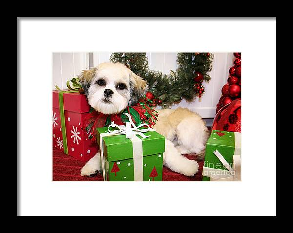 Shihtese Framed Print featuring the photograph Christmas Portraits - Shihtese by Renae Crevalle