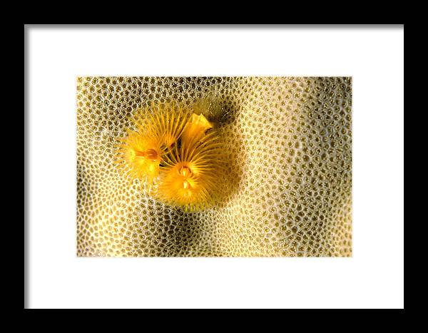 Christmas Tree Worm Framed Print featuring the photograph Christmas Tree Worm by Alexis Rosenfeld
