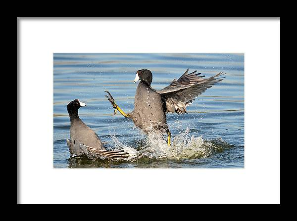 American Coot Framed Print featuring the photograph Churning Up The Water by Fraida Gutovich