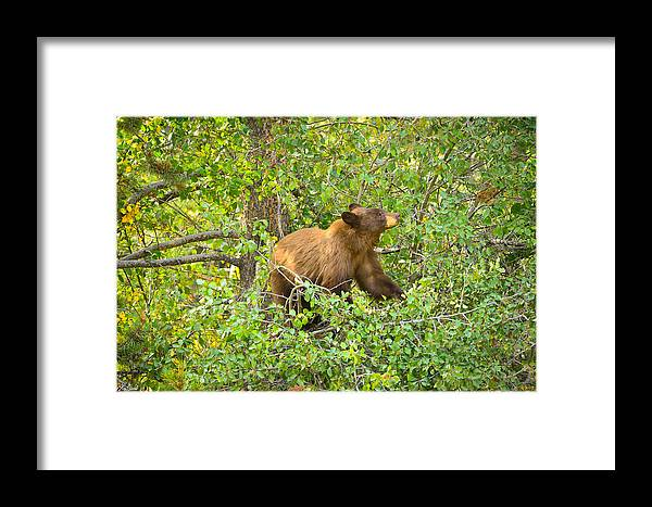 Grand Teton National Park Framed Print featuring the photograph Cinnamon Black Bear Limited Edition by Greg Norrell