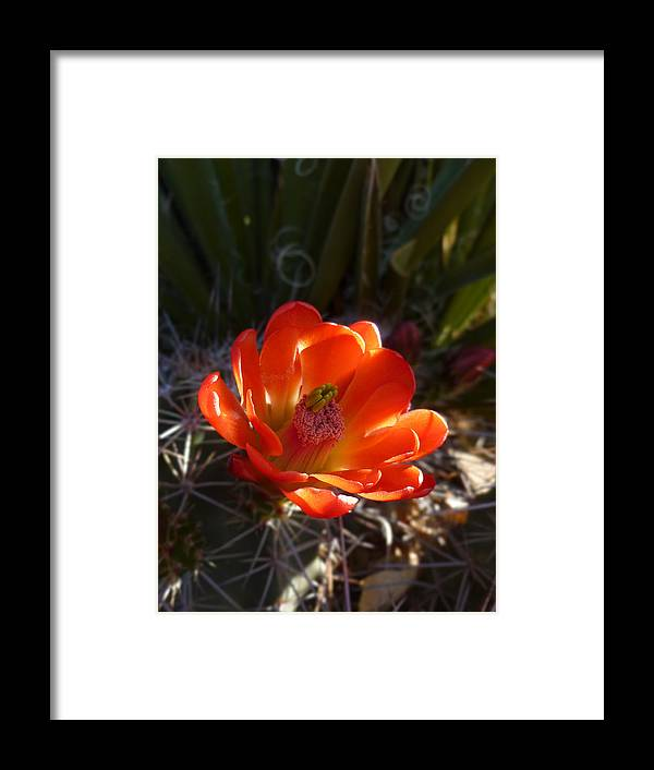 Claret Cup Framed Print featuring the photograph Claret Cup by Tony Klesert