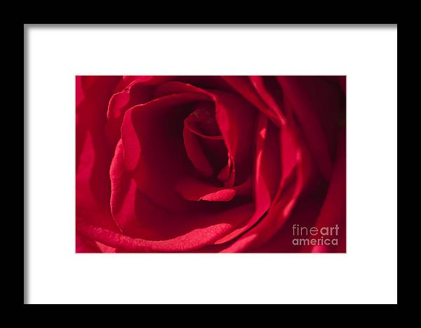 Red Rose Framed Print featuring the photograph Classic Rose by Sandra Bronstein