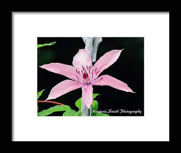 Clematis Framed Print featuring the photograph Clematis Lavender On Black by Marjorie Smith