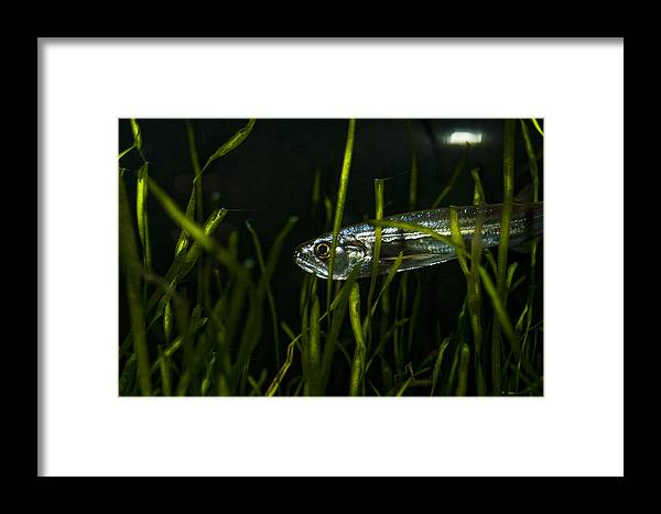 Vampire Tetra Framed Print featuring the photograph Close-up Of A Vampire Tetra Hydrolycus by Todd Gipstein
