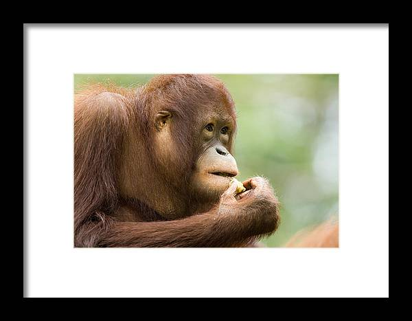 One Animal Framed Print featuring the photograph Close-up Of An Orangutan Pongo Pygmaeus by Tim Laman