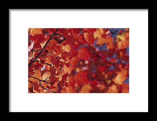 North America Framed Print featuring the photograph Close-up Of Autumn Leaves by Raymond Gehman