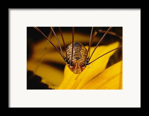 Animals Framed Print featuring the photograph Close View Of A Daddy Longlegs by Darlyne A. Murawski