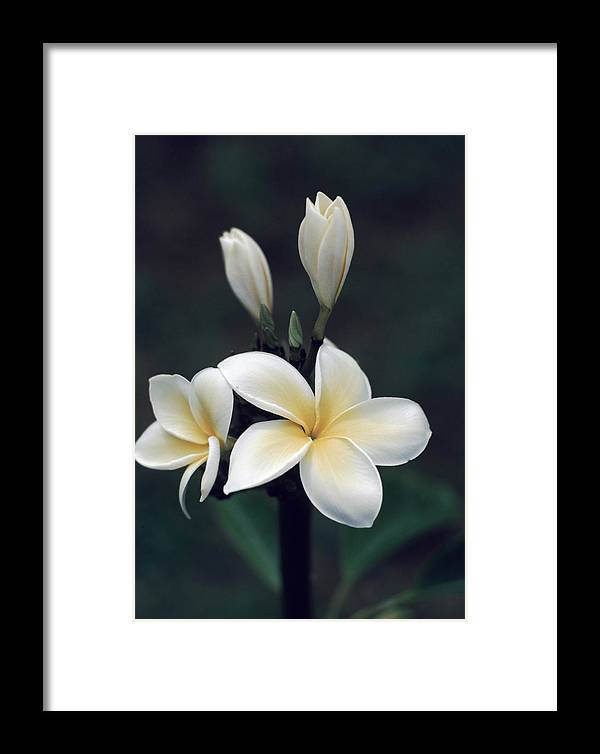 Four Flowers Framed Print featuring the photograph Close View Of A Delicated Plumeria by Ira Block