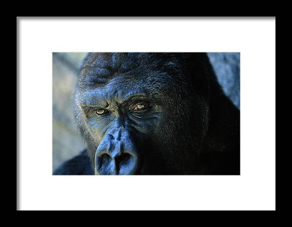 Animals Framed Print featuring the photograph Close View Of A Gorilla Gorilla Gorilla by Joel Sartore