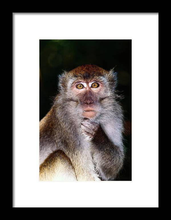 Borneo Island Framed Print featuring the photograph Close View Of A Long-tailed Macaque by Mattias Klum