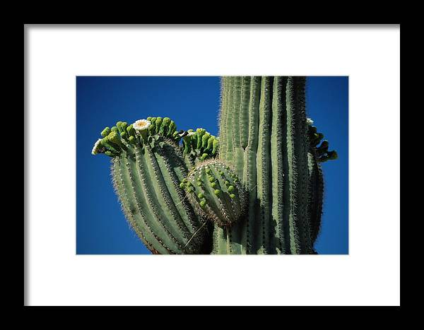united States Framed Print featuring the photograph Close View Of A Saguaro Cactus Saguaro by Raymond Gehman