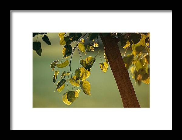 North America Framed Print featuring the photograph Close View Of A Tree Branch And Leaves by Raymond Gehman