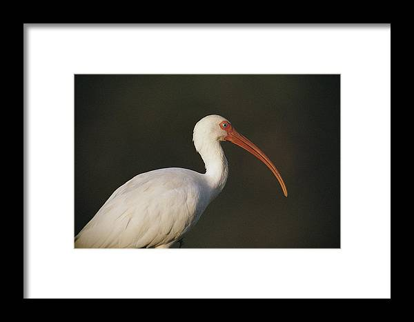 Animals Framed Print featuring the photograph Close View Of A White Ibis by Joel Sartore