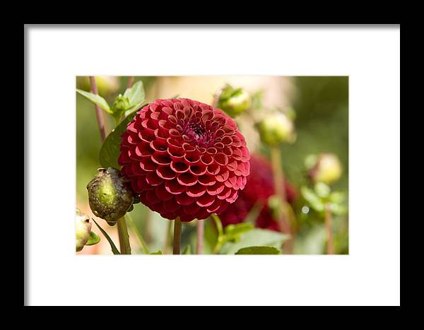 Gardens Framed Print featuring the photograph Closeup Of A Red Flower In Butchart by Tim Laman
