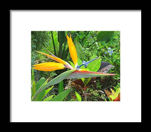 Bird Of Paradise Framed Print featuring the photograph Cock Of The Walk by Craig Wood