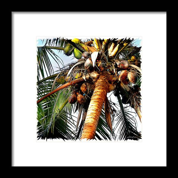 Tropical Framed Print featuring the photograph Cocoanuts Squared by Linda Olsen