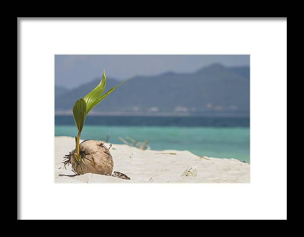 Coconut Framed Print featuring the photograph Coconut In The Sand by Zombory Andras