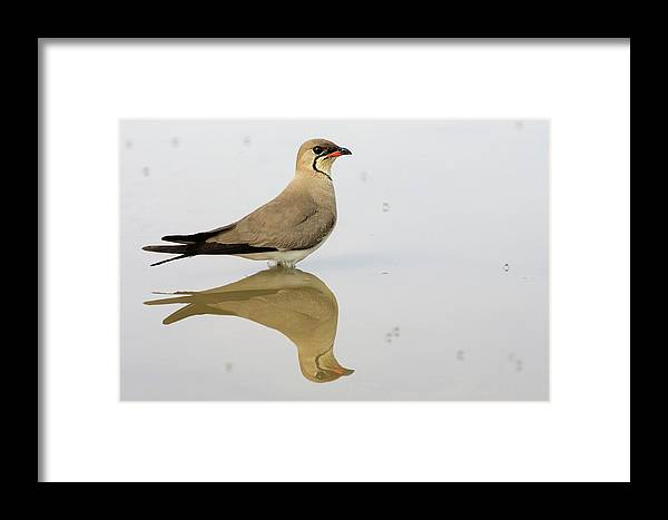 Fn Framed Print featuring the photograph Collared Pratincole Glareola Pratincola by Ramon Navarro