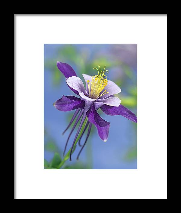 00176669 Framed Print featuring the photograph Colorado Blue Columbine Close by Tim Fitzharris
