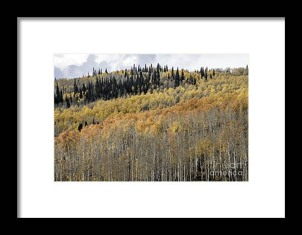 Aspen Golden Color Framed Print featuring the photograph Colorado Gold II by David Waldrop