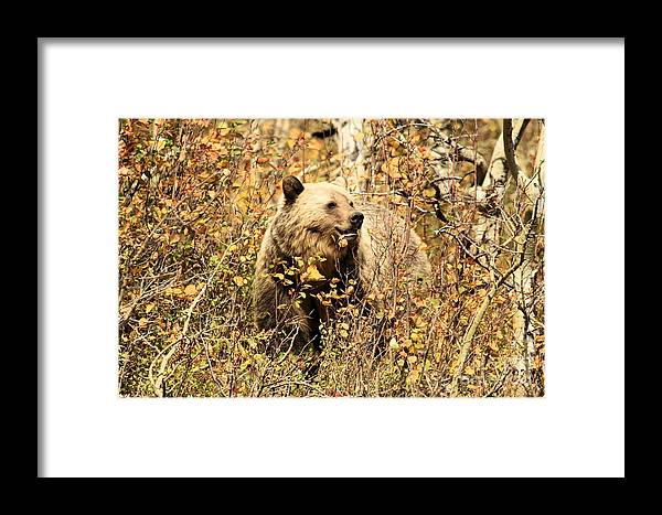 Grizzly Bear Framed Print featuring the photograph Colorful Smile by Adam Jewell