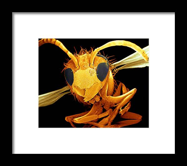 Wasp Framed Print featuring the photograph Coloured Sem Of A Wasp (vespa Sp.) In Flight by Volker Steger