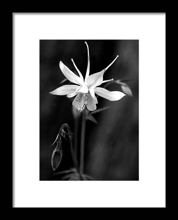Columbine Framed Print featuring the photograph Columbine by Roger Lapinski