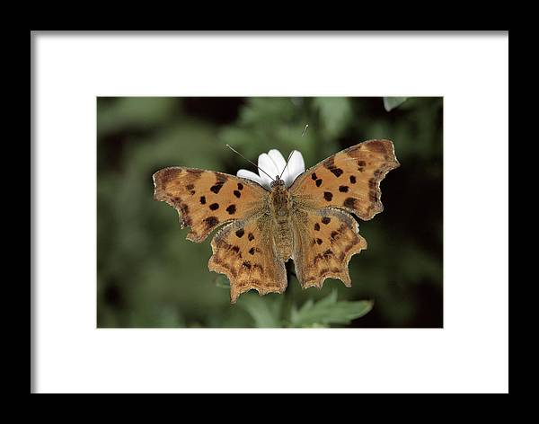 Npl Framed Print featuring the photograph Comma Polygonia C-album, Germany by Hans Christoph Kappel