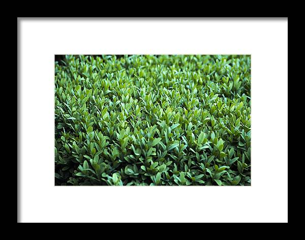 Buxus Sempervirens Framed Print featuring the photograph Common Box (buxus Sempervirens) by Archie Young