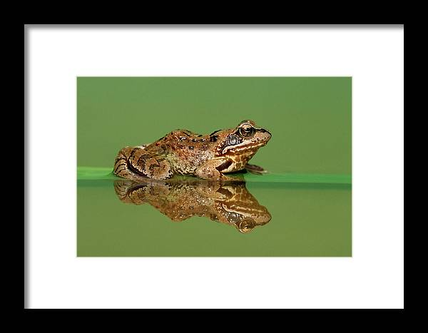 Fn Framed Print featuring the photograph Common Frog Rana Temporaria by Ingo Arndt