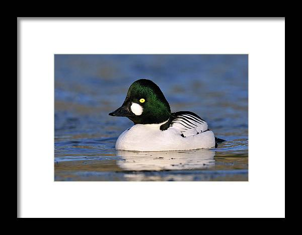 Nis Framed Print featuring the photograph Common Goldeneye Bucephala Clangula by Jasper Doest