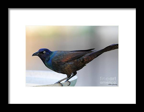 Common Grackle Framed Print featuring the photograph Common Grackle by Steve Javorsky