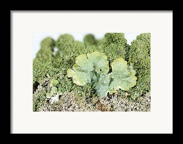 Common Greenshield Framed Print featuring the photograph Common Greenshield Lichen by Ted Kinsman