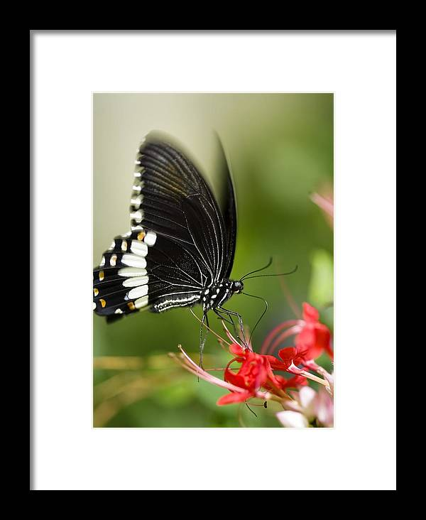 Papilio Polytes Framed Print featuring the photograph Common Mormon Butterfly by Power And Syred