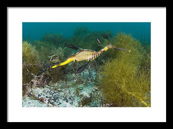 Common Sea Dragon by Matthew Oldfield