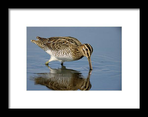 Fn Framed Print featuring the photograph Common Snipe Gallinago Gallinago by Gerard De Hoog