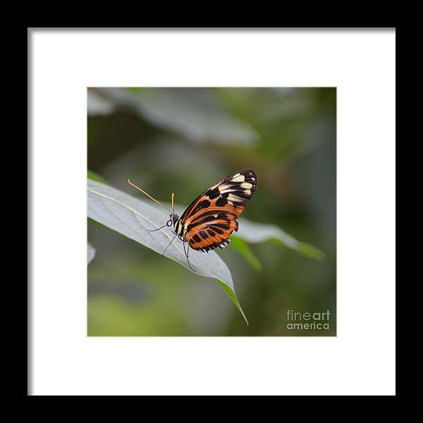 Butterfly Framed Print featuring the photograph Common Tiger Glassywing by Paulina Roybal
