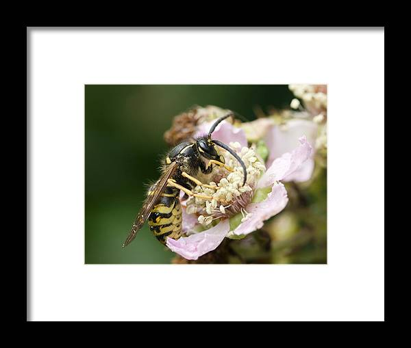 Common Wasp Framed Print featuring the photograph Common Wasp Feeding On A Flower by Adrian Bicker